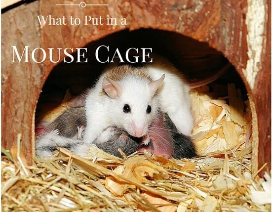 Wondering what to put in a mouse cage to prepare it with everything mice need? I cover everything here from toys, food bowls, water bottles, house, wheel
