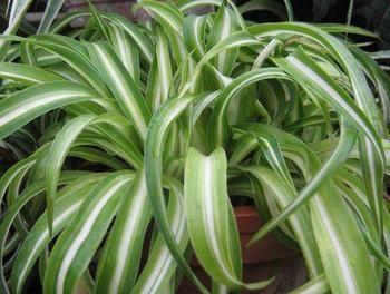 Хлорофитум уход в домашних условиях — листья желтеют
