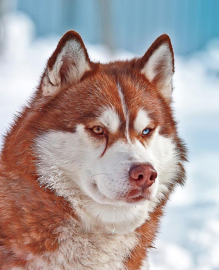 Oksana Ariskina Photograph - Siberian Husky by Oksana Ariskina #OksanaAriskina #OksanaAriskinaFineArtPhotography #Dog #Pet #ArtForHome #DigitalArt #Funny #FineArtPrints #InteriorDesign #PrintsForSale #Hasky #Ginger