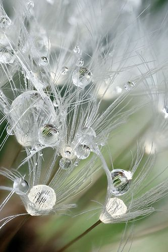 Raindrops on dandelion seedhead #4 by Lord V, via Flickr
