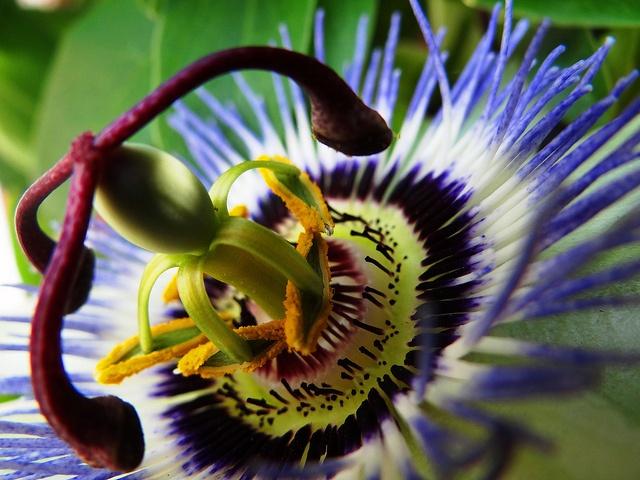 Passiflora,  il fiore della passione by antonè, via Flickr