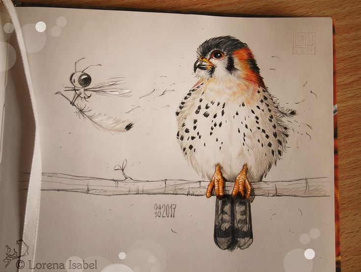 American kestrel(Falco sparverius) Do you know that this small falcon can see ultraviolet light? o.O More drawings like this in this specific folder: loisa.deviantart.com/gallery/6… fi...