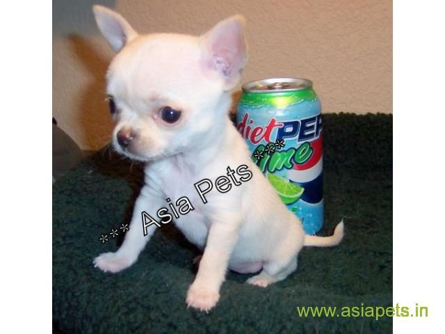 Chihuahua Puppies Price In Kolkata Chihuahua Puppies For Sale In