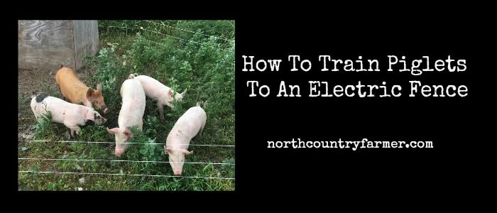 Learn how to train piglets to an electric fence. This is how we train our new piglets to stay in a simple and inexpensive electric fence.