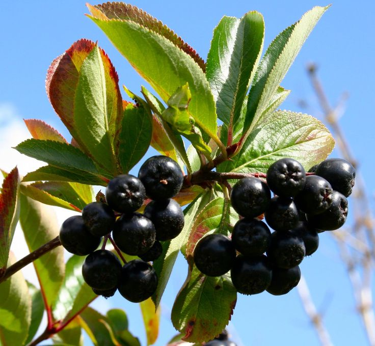 Ideal chokeberry fruit Google Search