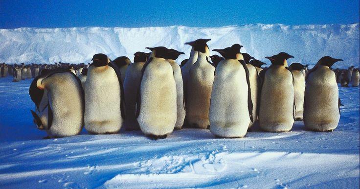 Lección sobre lo pingüinos y su entorno para niños en edad preescolar. Aprender acerca de los animales es un tema apasionante para los niños en edad preescolar, y esto incluye una variedad de planes de lecciones y actividades emocionantes e interesantes. Un animal que puede ser especialmente divertido para los niños es el pingüino. Las lecciones sobre estos animales y su entorno se pueden incorporar en los diversos ...