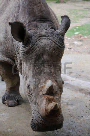 rhino: Rhino head Stock Photo