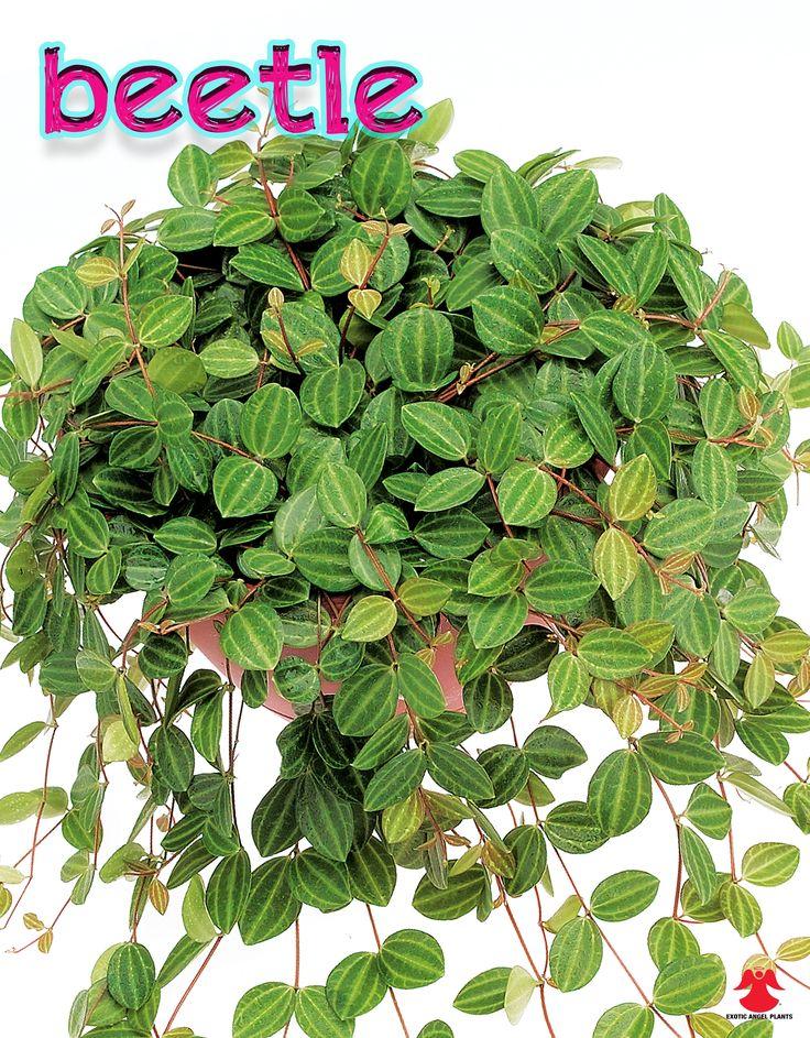 Peperomia Beetle Plants I Need Pinterest The O
