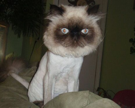 From 24 Hilarious Shaved Cats