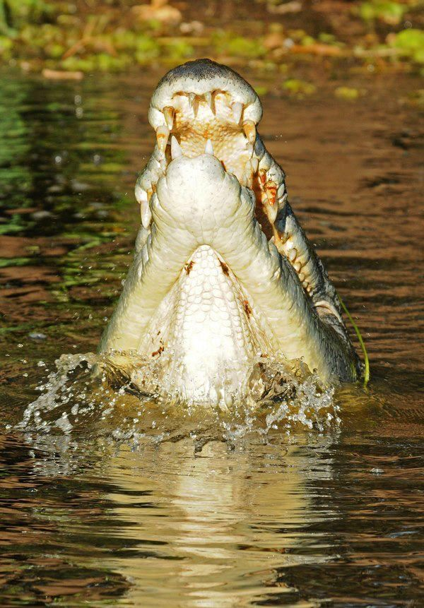 Salt water croc - Kakadu National Park - Australia - enlarge the pic and look at the teeth...