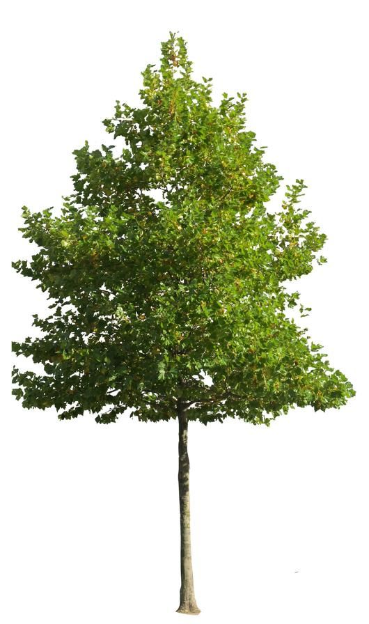 17 best images about tree psd on pinterest trees for Best small shade trees