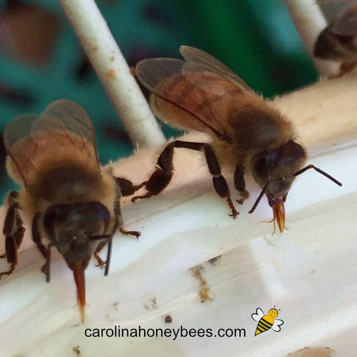 Feeding Bees Sugar Water How Why Feeding Bees Bee Bee Facts