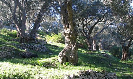Olive trees, Paxos, Greece