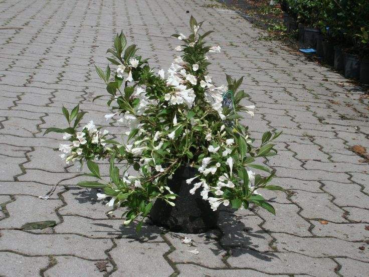 Zwerg-Weigelie 'Black & White' ® - Weigela 'Black and White' ® 14,50