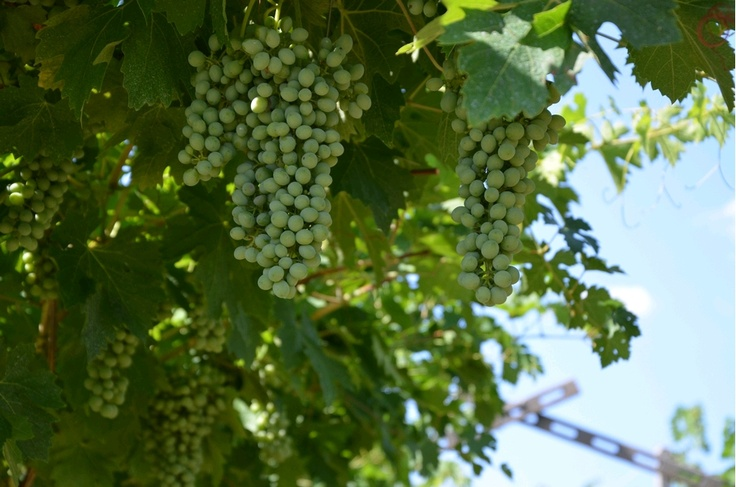 Mognande druvor på vinstockar #Brigaldara #amarone #winemarket