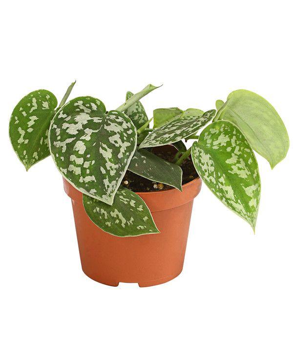 Efeutute Sortenmix Efeutute Pflanzen Efeu