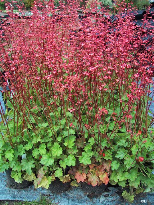 Coral bells | Perennials | Pinterest