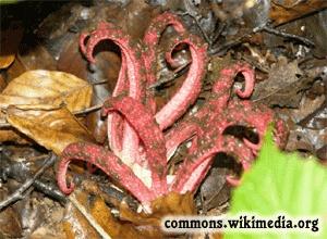 Devil's Fingers Stinkhorn - Clathrus archeri