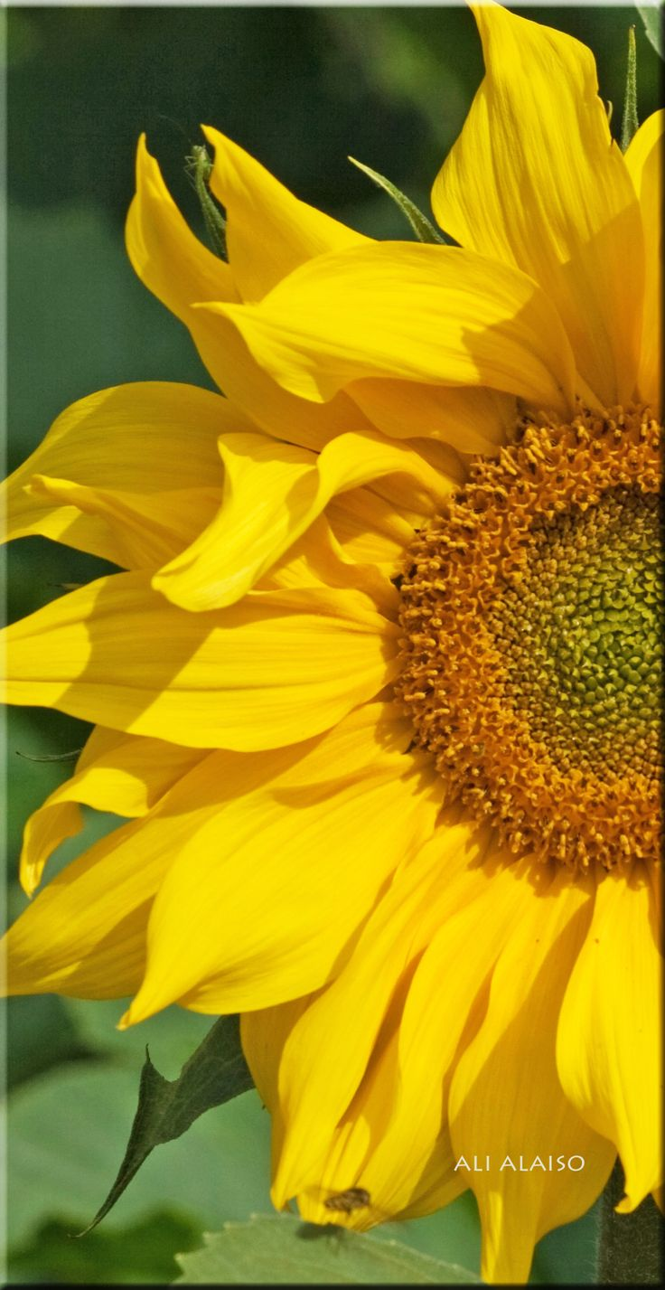 Girasole from Andalucia by Aili Alaiso