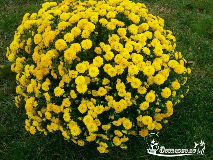 Как вырастить шикарные хризантемы?    Запомните!  1. Хризантемы относительно…