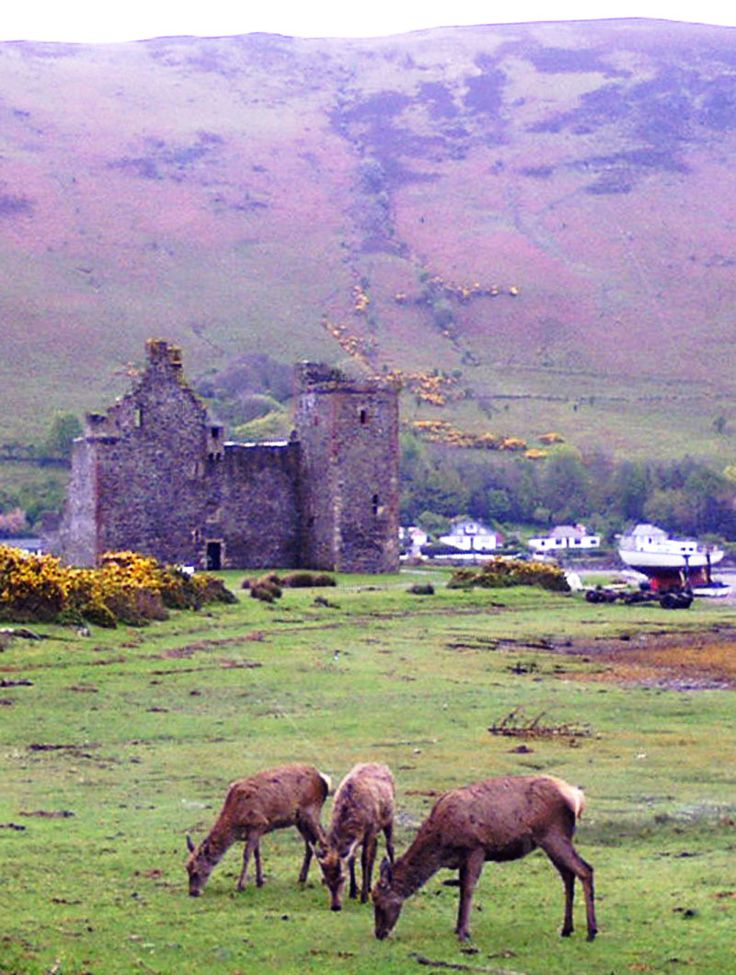 Deer at the ruins of the 16th century Lochranza Castle, Isle of Arran, Scotland