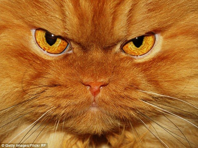 Best Garfi Images On Pinterest Angry Cat Cats And Kitty Cats - Garfi is officially the worlds angriest cat