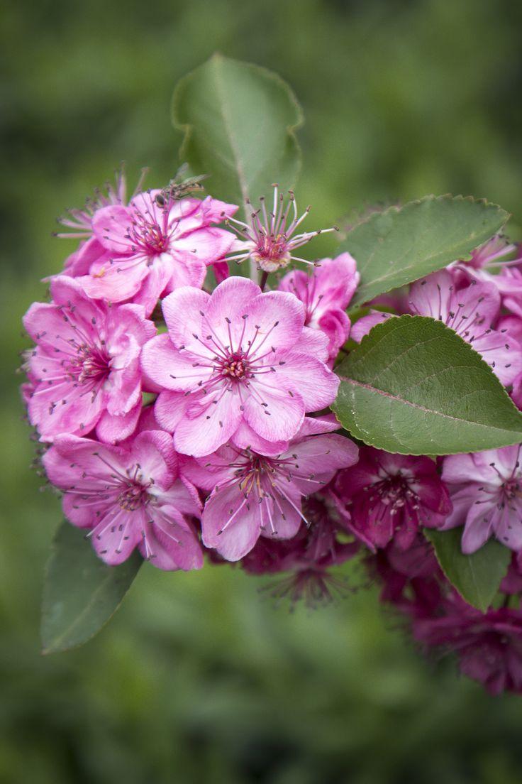 Malus 'Wychwood Ruby'