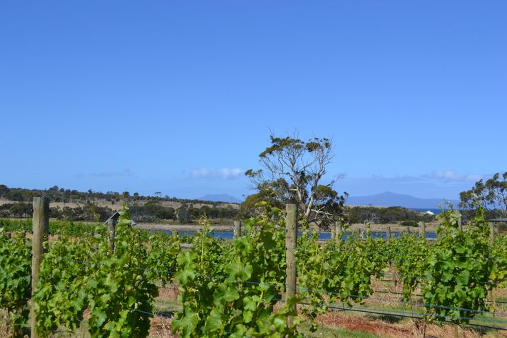 Our #PinotNoir #vineyard with the sea and #FreycinetHazards in the background on the east coast of #Tasmania