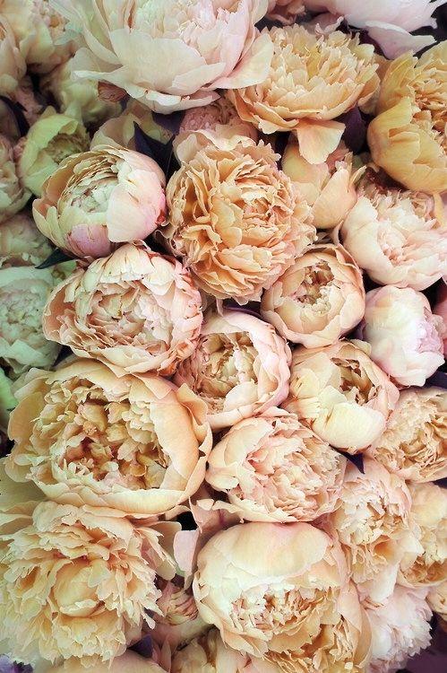 Beautiful blush peonies