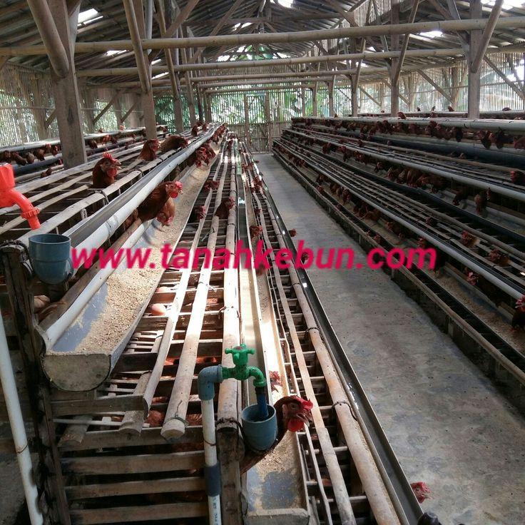 Dijual ternak ayam murah, more info www.tanahkebun.com