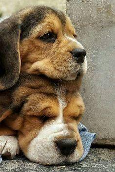 Beagle puppy pair