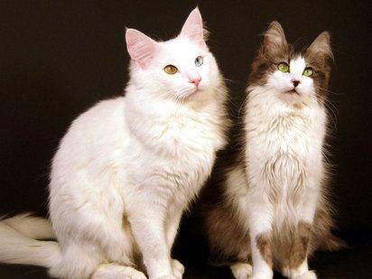 Gato de Angora Turco | Cuidar de tu mascota es facilisimo.com