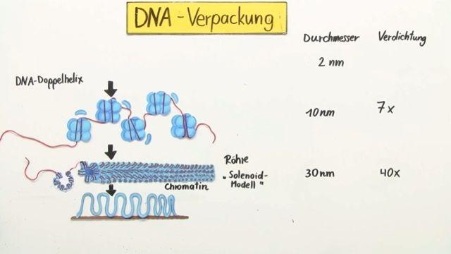 Lerne DNA - Verpackung und Chromatin verständlich per Video erklärt auf sofatutor.com!