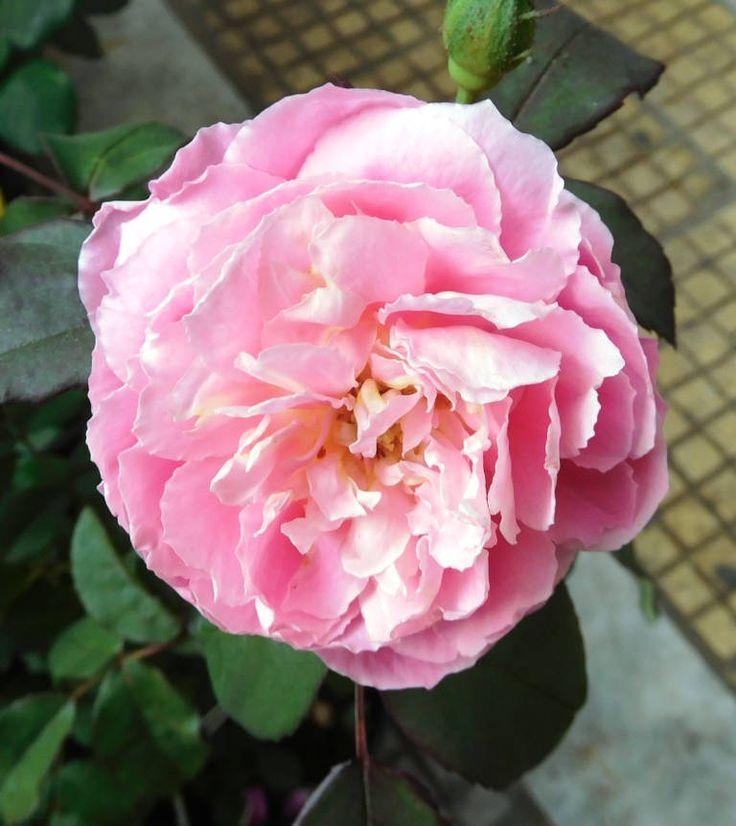 https://flic.kr/p/RwKxhc | ROSES ARE PINK MY LOVE