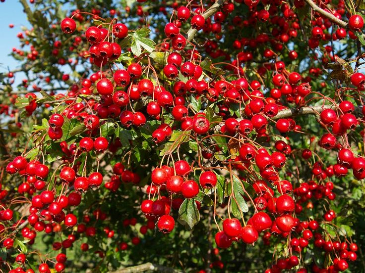 Hawthorn - Your Heart's Favorite Herb.  It works on the circulatory system keeping arteries & vessels open & elasticized, allays pain, promotes circulation in the whole body, rebuilds heart & venous system & fibers, provides vital antioxidants, reduces inflammation, strengthens  heart's pumping action, lowers cholesterol, removes plaque, steadies heartbeat, increases  heart's capability to endure oxygen deficiency, balances heart irregularities, . Pretty amazing, right?