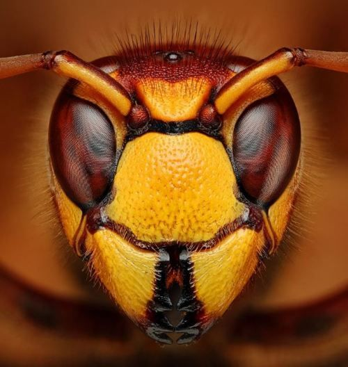 Wasp Closeup!  Call A1 Bee Specialists in Bloomfield Hills, MI today at (248) 467-4849 to schedule an appointment if you've got a stinging insect problem around your house or place of business!