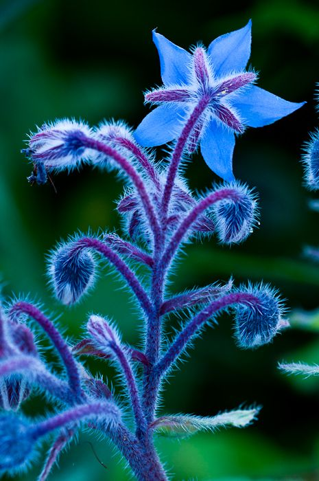 borage - super easy to grow from seed and so pretty, too!