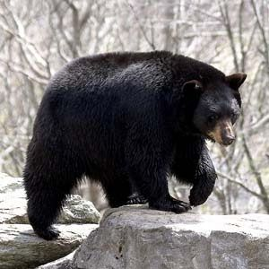 I'm coming with the most amazing black bear facts for kids including black bear diet, habitat, reproduction, and behavior. The American black bear (Urus americanus) is a subspecies of black bear that is endemic to North America.