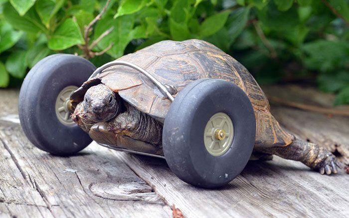 une tortue avec des roues en prothèse video  2Tout2Rien