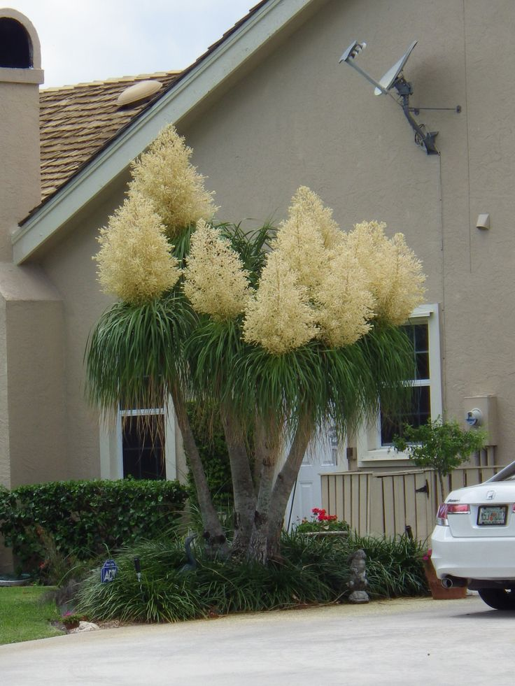 Ponytail Palm (Beaucarnea Recurvata). The name is misleading. Ponytail-Palms are not palms, but rather big succulent Mexican desert lilies far more closely related to asparagus and liriope than to palms.
