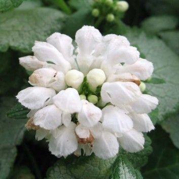 Lamier - Lamium maculatum White Nancy