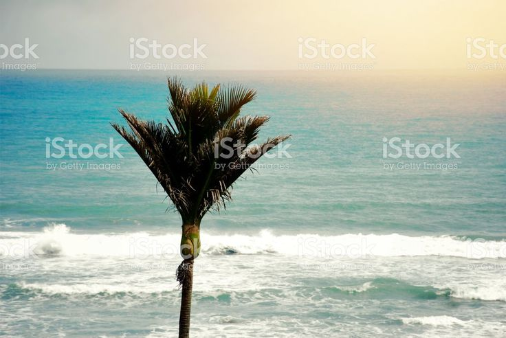 New Zealand Native Rhopalostylis Sapida (Nikau) Palm royalty-free stock photo