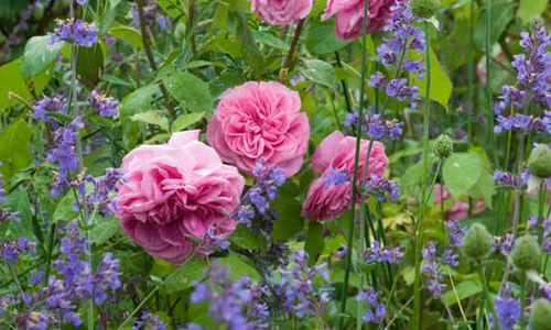 Perennial Combinations, Plant Combinations, Summer Borders, Planting Roses, Rose Gardening, Designing with Roses, English Roses, Rose Gertrude Jekyll, Nepeta Six Hills Giant, Rosa Gertrude Jekyll, Pink English Roses