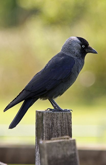 Jackdaw. Spotted: Newcastle • Middlesbrough • The Saddle Inn, Chester • Haltwhistle • Low Row • Gilsland •