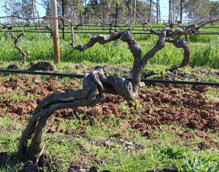 A vine close to clocking a half century in Brokenwood's Graveyard vineyard in the Hunter Valley, Australia  Source: thewinemuse www.winemuse.com.au