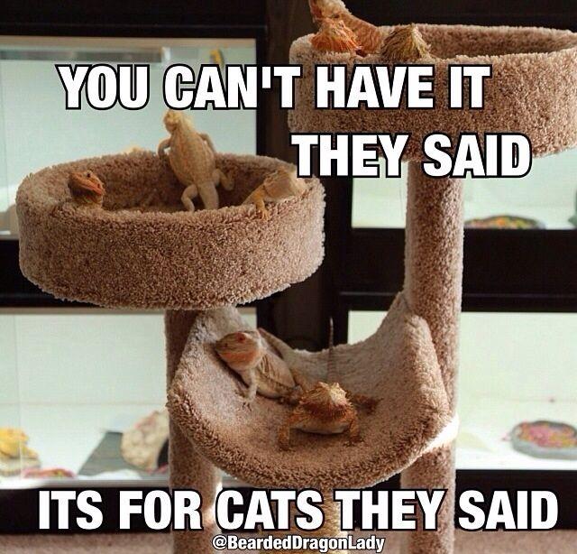 Beardies = Scaley Cats (credit goes to @beardeddragonlady on Instagram)