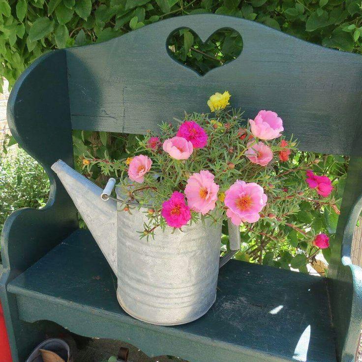 Best 25 Portulaca Flowers Ideas On Pinterest Purslane