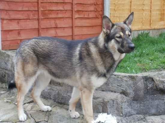 Alaskan Shepherd | Alaskan Malamute x German Shepherd Dog (some great information on this particular mix breed)