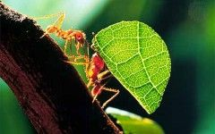 "Leaf cutter ants Leafcutter ants ""cut and process fresh vegetation"