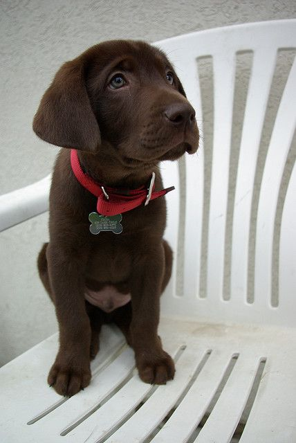 Cocoa the Labrador dog.  Green eyes.  Cute puppy.